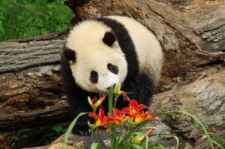 Panda Smelling Flowers - Obrázkek zdarma pro Fullscreen Desktop 1280x1024