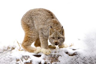 Wild Lynx in Forest Wallpaper for Android, iPhone and iPad