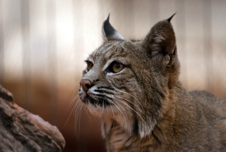 Lynx Picture for Android, iPhone and iPad