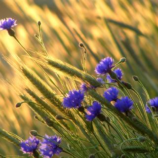 Cornflowers - Obrázkek zdarma pro 320x320