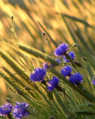 Cornflowers - Obrázkek zdarma pro Nokia Asha 309