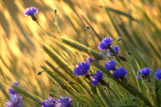 Cornflowers - Obrázkek zdarma pro 1024x600