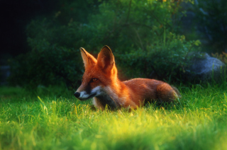 Bright Red Fox In Green Grass Wallpaper for Android, iPhone and iPad