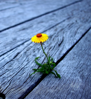 Little Yellow Flower On Wooden Planks - Obrázkek zdarma pro 2048x2048