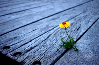 Little Yellow Flower On Wooden Planks - Obrázkek zdarma pro 1440x1280