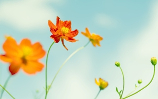 Cosmos Flowers Wallpaper for Android, iPhone and iPad