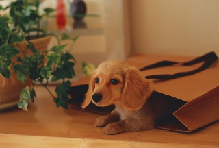 Puppy In Paper Bag - Obrázkek zdarma pro Android 800x1280