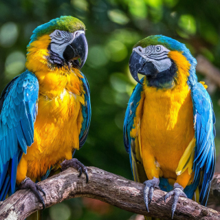 Blue and Yellow Macaw Spot - Obrázkek zdarma pro 1024x1024