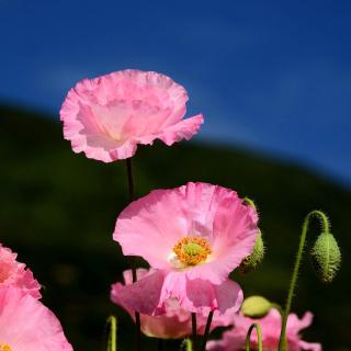 Pink Poppies Field - Obrázkek zdarma pro iPad Air