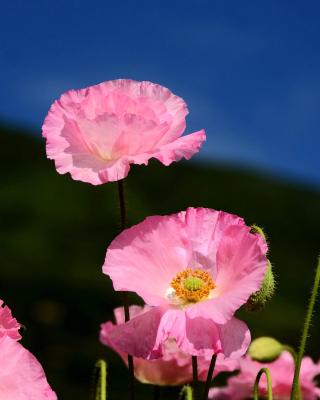 Pink Poppies Field - Obrázkek zdarma pro 480x854