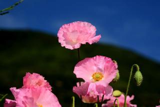 Pink Poppies Field - Obrázkek zdarma pro Sony Xperia M