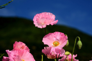 Pink Poppies Field - Obrázkek zdarma pro Samsung Galaxy Tab 3 10.1