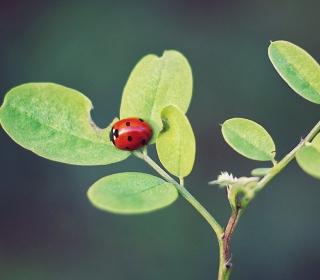 Ladybug Macro - Obrázkek zdarma pro 208x208