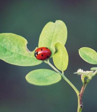 Ladybug Macro - Obrázkek zdarma pro Nokia Asha 310
