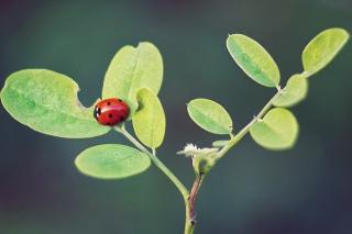 Ladybug Macro - Obrázkek zdarma pro LG P500 Optimus One