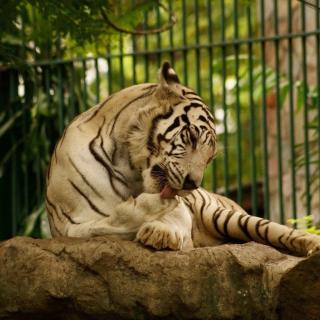 White Tiger in Zoo - Obrázkek zdarma pro 208x208