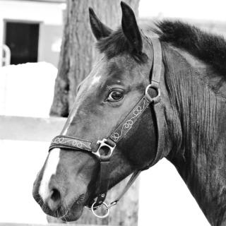 Thoroughbred Breed of Horse - Obrázkek zdarma pro iPad 3