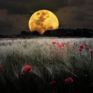 Night Poppies Field - Obrázkek zdarma pro iPad Air