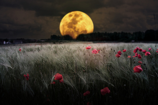 Night Poppies Field Wallpaper for Android, iPhone and iPad