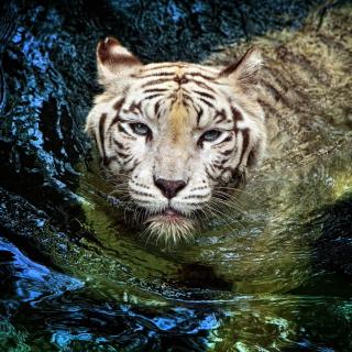 Big Tiger - Obrázkek zdarma pro 208x208