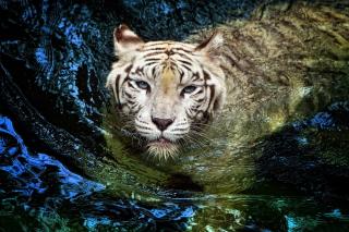 Big Tiger - Obrázkek zdarma pro Nokia Asha 205