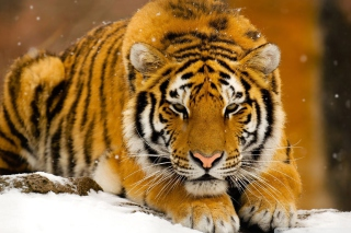 Siberian Tiger Picture for Android, iPhone and iPad