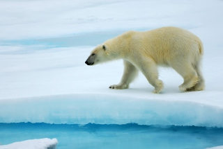 Free Polar Bear Picture for Android, iPhone and iPad