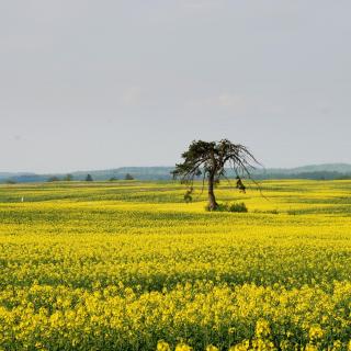 Yellow Meadow Landscape - Obrázkek zdarma pro 320x320