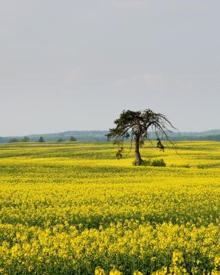 Yellow Meadow Landscape - Obrázkek zdarma pro Nokia Asha 305