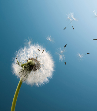 Wind Flower Dandelion - Obrázkek zdarma pro Nokia X7