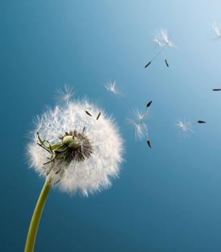 Wind Flower Dandelion - Obrázkek zdarma pro iPhone 5S
