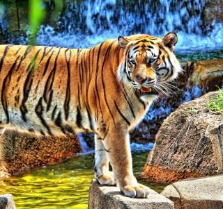 Tiger Near Waterfall - Obrázkek zdarma pro iPad