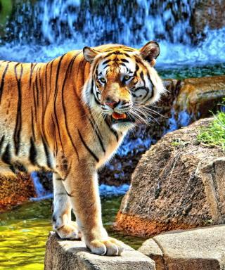 Tiger Near Waterfall - Obrázkek zdarma pro Nokia Asha 300