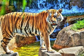 Tiger Near Waterfall - Obrázkek zdarma pro Sony Xperia Z
