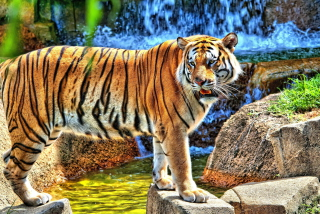 Tiger Near Waterfall - Obrázkek zdarma pro Android 1080x960