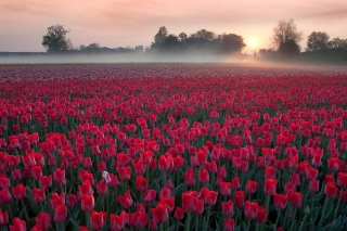 Red Tulip Field Picture for Android, iPhone and iPad