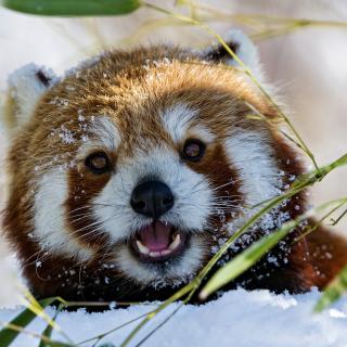Red Panda - Obrázkek zdarma pro iPad 3