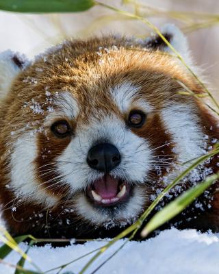 Red Panda - Obrázkek zdarma pro Nokia Asha 503