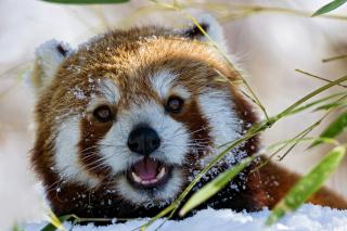 Red Panda - Obrázkek zdarma pro Motorola DROID 3