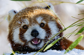 Red Panda - Obrázkek zdarma pro 1366x768