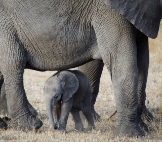 Baby Elephant - Obrázkek zdarma pro iPad 2