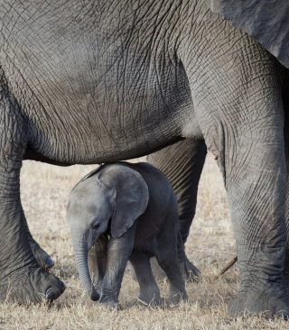 Baby Elephant - Obrázkek zdarma pro iPhone 6