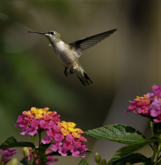 Hummingbird And Colorful Flowers - Obrázkek zdarma pro iPad 2