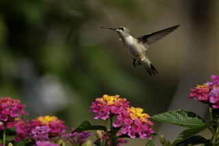 Hummingbird And Colorful Flowers - Obrázkek zdarma pro Widescreen Desktop PC 1920x1080 Full HD