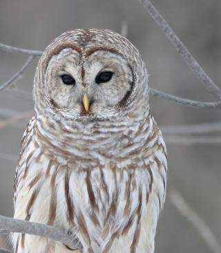 Owl - Obrázkek zdarma pro Nokia Asha 311