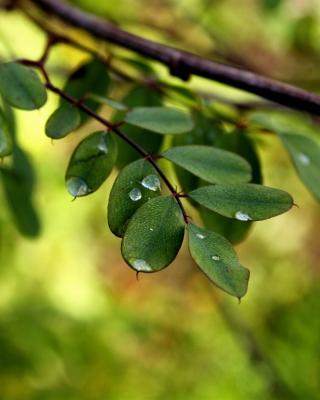 Macro Green Leaves - Obrázkek zdarma pro Nokia Asha 308