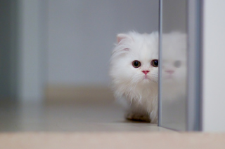 White Persian Kitten Picture for Android, iPhone and iPad