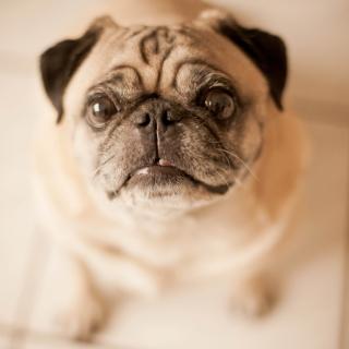Cute Pug - Obrázkek zdarma pro iPad 2