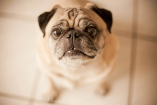 Cute Pug - Obrázkek zdarma pro 800x480