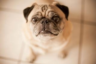 Cute Pug - Obrázkek zdarma pro Sony Xperia M